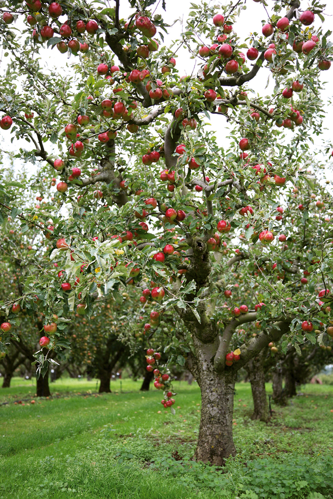 Apple orchard at Brogdale Farm, used alongside top crops feature, Apples.